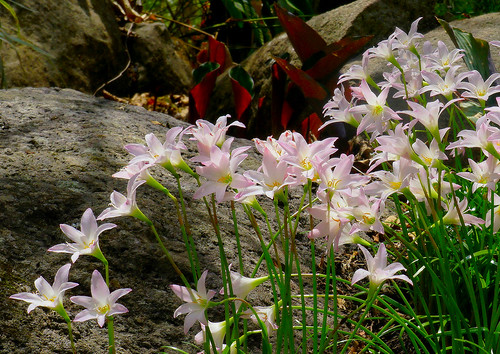 Pequeños lirios rosados / Little pink lilies
