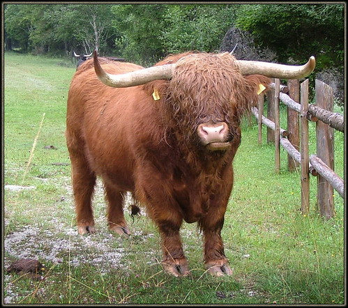 Highland cattle (Scottish Gaelic: Bò Ghàidhealach; Scots: Heilan coo) are a Scottish cattle breed. 2006 S 582 Log3_18 2 6869 Phot3Logar2006