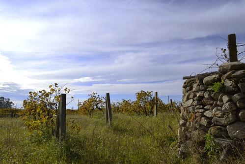As viñas de Uso da Torre
