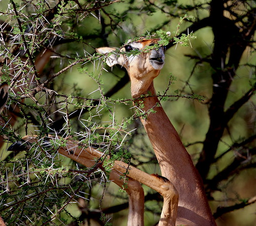 A female Gerenuk (Litocranius walleri), while standing on her hind legs, uses her tongue and long upper lip to grab some tender foliage from amongst the thorns of an Acacia tree.