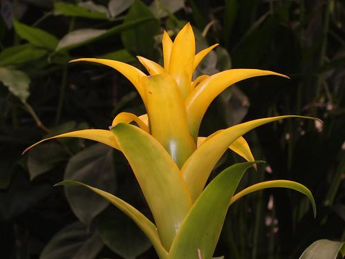 Scarlet star (Guzmania lingulata)