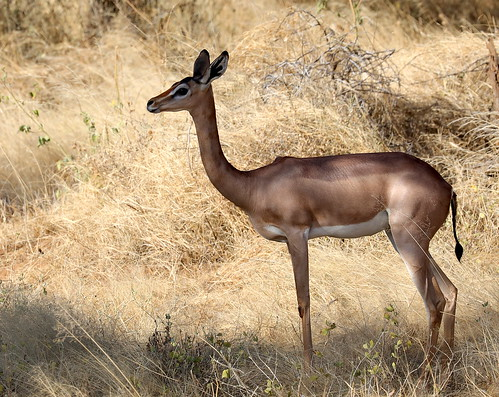 A female Gerenuk (Litocranius walleri), also known as the giraffe gazelle, gives me the perfect profile to illustrate its long, graceful neck.