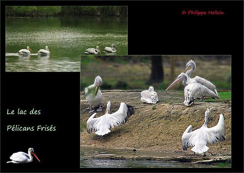 Le Lac des Pélicans frises ©Biotropica