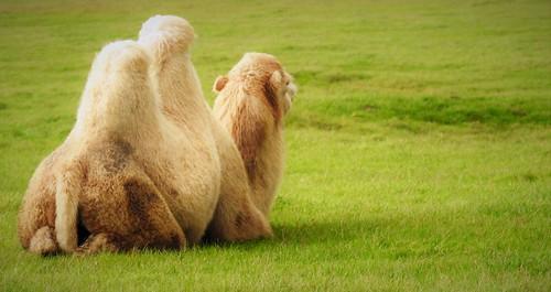CAMEL DREAMING