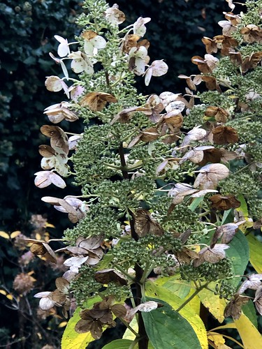 Pluimhortensia (Hydrangea paniculata 'Pinky Winky') in autumn. Don't be afraid. Live go's on, always. There is live after death, here, on our planet, because live is more valuable than death. Love our children. Teach the children well.