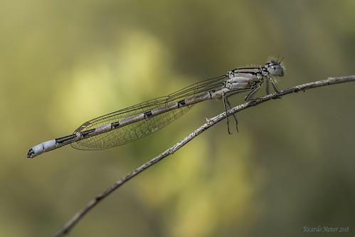 Enallagma cyathigerum. Young male