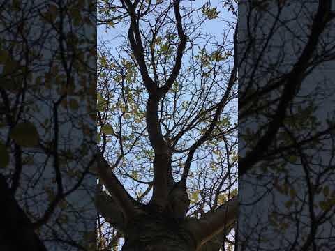 Common walnut - canopy - November 2018