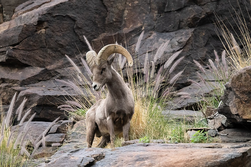Young Adult Big Horn - Cliffs Above Araby Trail, Palm Springs