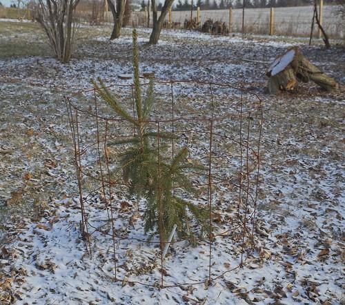 Picea abies 'Rubra Spicta', 2019 photo