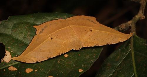 Geometrid Moth (Dalima sp., Ennominae, Geometridae)