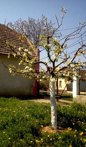 Blühender Birnenbaum- Haus und Bauernhof in West-Rumänien zu verkaufen
