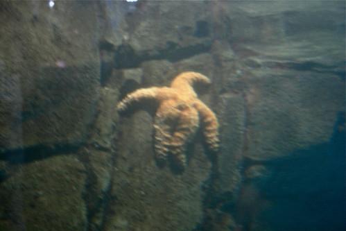 Real-Life Patrick Starfish at Monterey Bay Aquarium