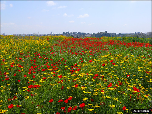 Israeli Spring time Blossoming