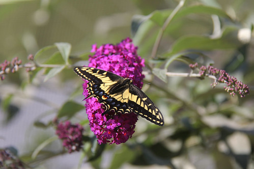Anise Swallowtail on summer lilac.