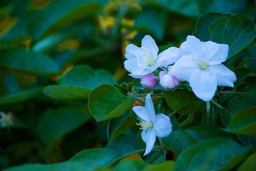 Kwiaty jabłoni 6