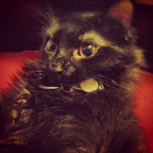 Max Headroom is a collar chewing fool. #cat #asshole #walnutbrain #cute