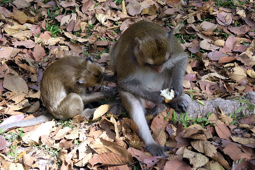Cambodia - Siem Reap - Monkey - 07
