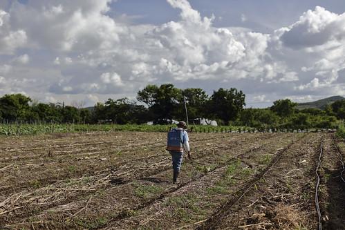 Un trabajador fumiga la parcela de Yader Castellón en la comunidad Las Delicias, municipio de Ciudad Dario, Matagalpa, Nicaragua. Catholic Relief Services apoya técnicamente a pequeños agricultores para que adopten la agricultura de conservac