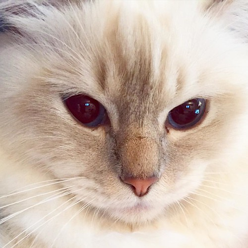 Min lilla ylande hund. My little howling dog. #popcorn #poppylove #birma #birman #breeder #catsofinstagram #chokladochvanilj #kitten #neko #pinkalicious #welovecats #we_love_cats