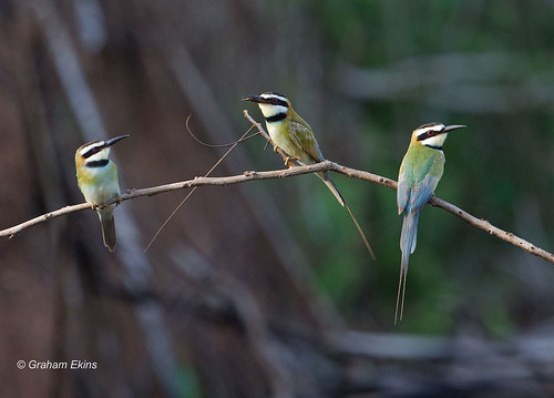 White-throated Bee-eater,  group,   Merops albicollis