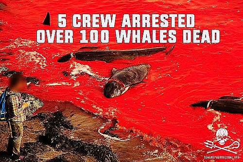 VIDEO - Sea Shepherd small boat stands strong in the face of slaughter in the Faroe Islands