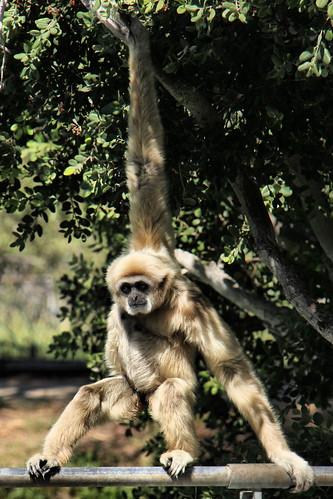 The lar gibbon.