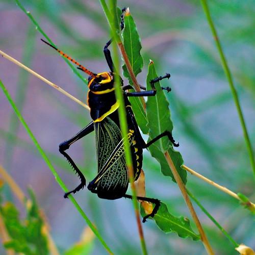 Now That's A Grasshopper!  ~~ Or Is It A Locust? ~~ No, It's a Horse Lubber Grasshopper...