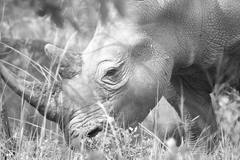 Female White Rhino at Ziwa Camp Uganda