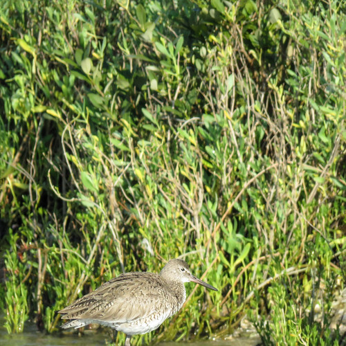 Day 3, Willet?
