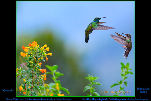 GREEN VIOLETEAR & SPECKLED HUMMINGBIRD. Colibri thalassinus & Adelomyia melanogenys above Tandayapa in ECUADOR. Photo by Peter Wendelken.
