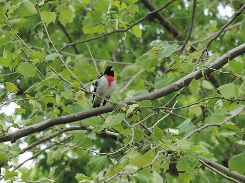 Rose breasted grosbeak along the Katy trail