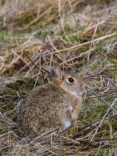 Kanína í Elliðaárdal / Rabbit in Elliðaárdalur
