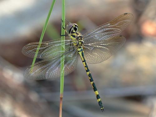 Yellow-spotted Emerald (Hemicordulia intermedia)