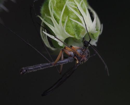 Gnoriste sp. (Fungus Gnat) on Tellima grandiflora