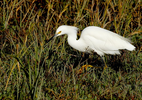 A Snowy Egret (Egretta thula), slowly moving through the vegetation, watching for movement or any other indication that would signal potential prey
