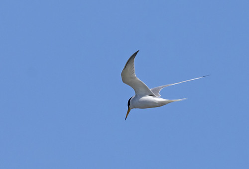 Little-tern_3706-flickr