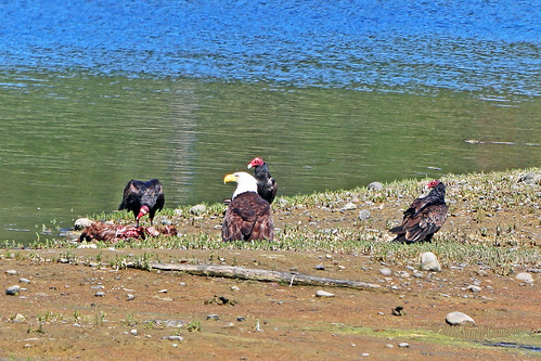 Turkey Vultures And Bald Eagle 18-0718-8849