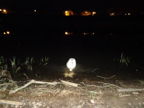 El hombre de cisne solo en el puerto de Pieschen
