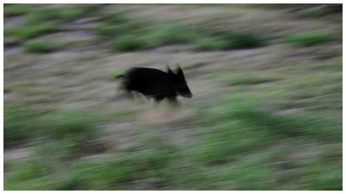 Wild pig in my yard!!