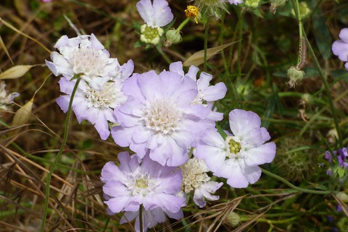 Very delicate pale Lilic wild flower, similar to Scabious, Ag.Nik, Mani