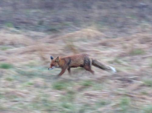 Impressionistinen kettu | An impressionistic fox
