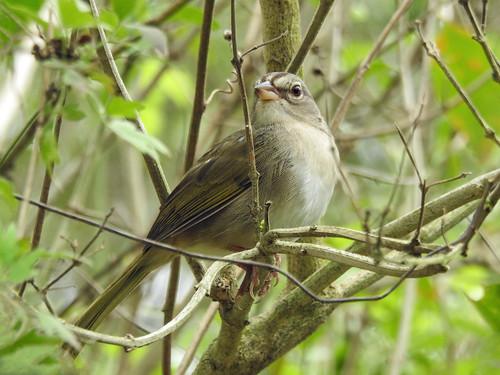 Day 6, Olive Sparrow / Arremonops rufivirgatus