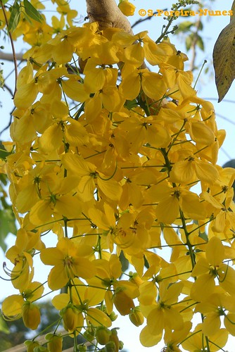 Golden Shower Tree, El Salvador