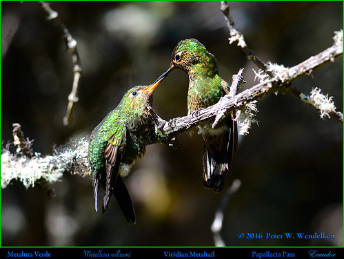 VIRIDIAN METALTAIL Metallura williami. Fledged Juvenile Feeding with Mother at the Papallacta Pass in ECUADOR. Photo by Peter Wendelken.