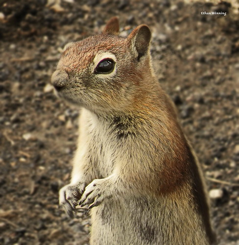 Golden-mantled Ground Squirrel 5427