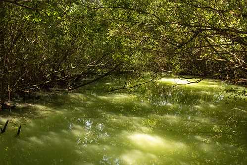 Mangrove forest and water meet, Sandos Caracol Eco Resort, Mexico