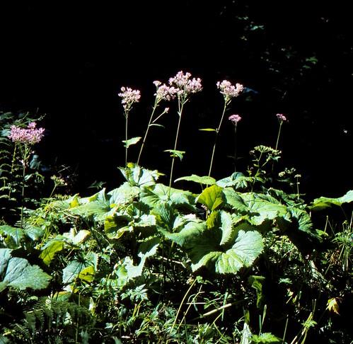 Adenostyles alpina (L.) BLUFF & FINGERH. Kahler Alpendost, Grüner Alpendost Alpine Plantain, Hedge Garlic