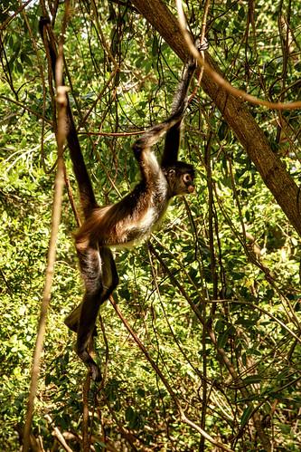 Spider Monkey, Sandos Caracol Eco Resort, Mexico