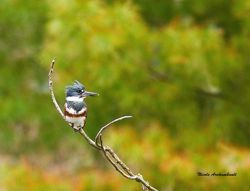 Martin-pêcheur d'Amérique - Belted Kingfisher