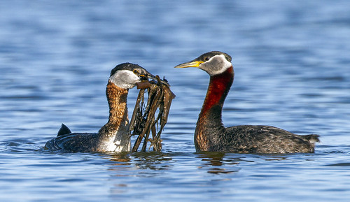 Red-Necked Grebe with Vegetation